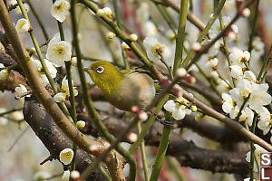 Japanese White Eye With Blossoms