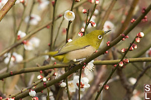 Japanese White Eyes With Early Blossoms