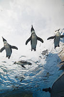 Penguins Flying Over