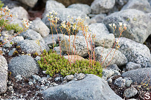 Whole Spotted Saxifrage