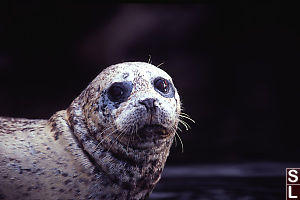 Just the Head of a Seal