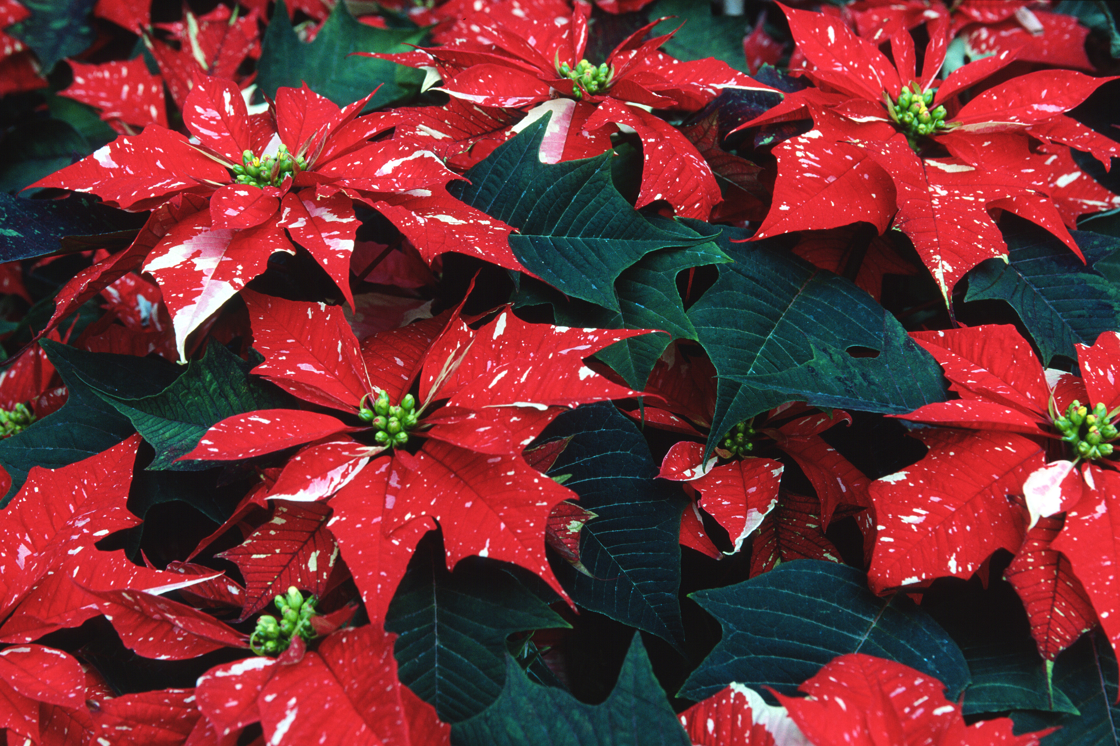 Speckled Poinsettia Straight