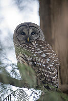 Barred Owl Over The Shoulder