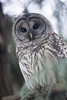 Barred Owl With Talons