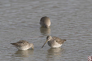 Long-Billed Dowitcher Feeding
