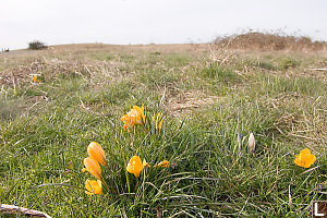 Crocuses Growing In The Field