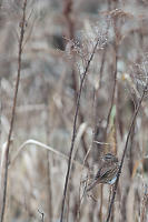 Song Sparrow In Tall Grasses