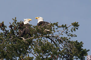 Two Eagles On A Lookout Tree