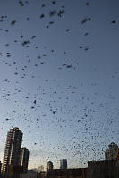 Crows Pouring From AConstruction Site