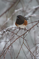 Puffed Up Spotted Towhee