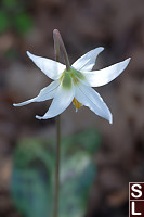 White Fawn Lily