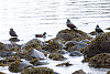 Harlequin Duck At Beach