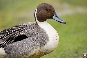 Close Up Northern Pintail
