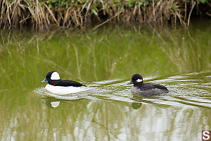 Male And Female Bufflehead