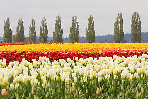 Row Of Trees Behind Tulips