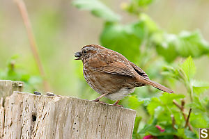 Song Sparrow With Seed