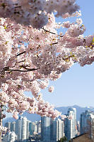 Cherry Blossoms Over City