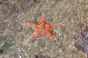 Leather Star In Shallow Water