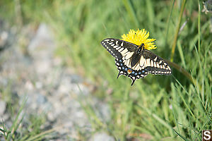 Anise Swallowtail On Dandelion