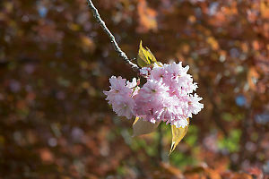 Cherry Blossoms Against Maple Tree