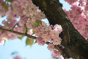 Cherry Blossoms Growing Near Branch