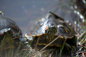 Red Eared Slider Face On