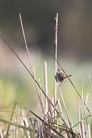 Marsh Wren On Tall Reed