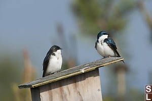 Two Tree Swallows On Bird Box