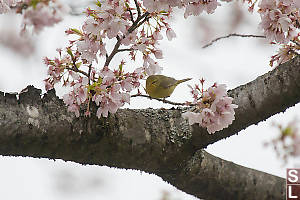 Orange Crowned Sparrow In Cherry Blossums