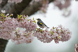 Yellow Rumped Warbler In Cherry Blossum