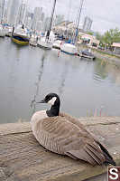 Goose On Sea Wall