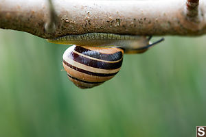 Snails Traveling Under Branch
