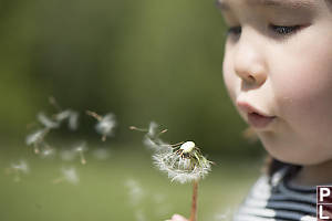 Dandelion Seeds Blowing Into The Background