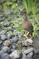 Mallard And Two Ducklings Feeding In The Rocks