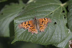 Satyr Anglewing On Chewed Leaf