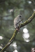 Barred Owl Near Mate
