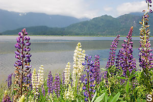Pond Side Lupine