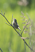 Marsh Wren Through The Grass