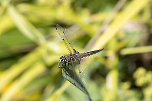Four Spotted Skimmer On End Of Reed