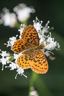 Pacific Fritillary On Sitka Valerian