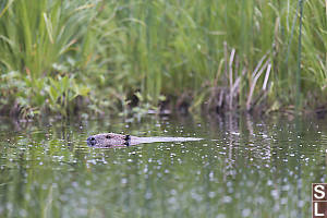 Beaver Swimming Left