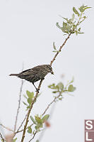 Female Red Winged Blackbird With Baby Food