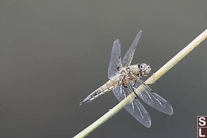 Four Spotted Skimmer On Diagonal