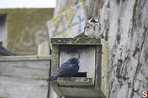 Purple Martins On Nest Box