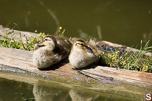 Two Mallard Chicks On Log