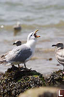 Gull Swallowing Star