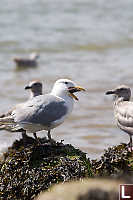 Gull With Star Legs Out