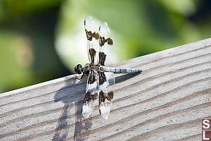 Eight Spotted Skimmer On Hand Rail