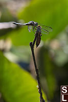 Dragonfly With Nymph Skin