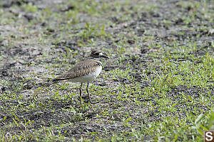 Killdeer In Field